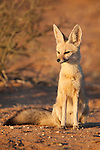 Cape fox, Vulpes chama, Kgalagadi Transfrontier Park, Northern Cape, South Africa