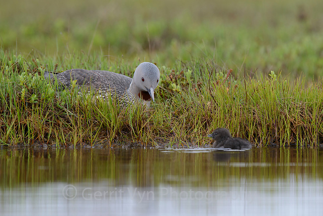 Red-throated Loon (Gavia stellata) incubating an egg while a newly hatched chicks swims nearby. Yukon Delta National Wildlife Refuge, Alaska. July.