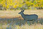 A mule deer (Odocoileus hemionus) buck browses in a high desert habitat.