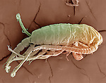Cyclops freshwater microcrustacean that feeds mainly on decaying plants and animals. SEM