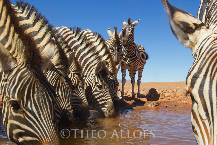 Namibia, Namib Desert, Namibrand Nature Reserve, zebras drinking at water hole (Equus burchelli)