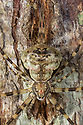 Long-spinnered Bark Spider / Two-tailed Spider {Hersiliidae sp.}, Danum Valley, Sabah, Borneo. June.