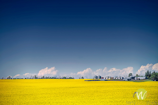 Canola fields, Carstairs, AB, Canada