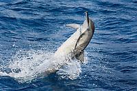 Hawaiian/Grays Spinner Dolphin, Stenella longirostris, spinning, Maldives, Indian Ocean