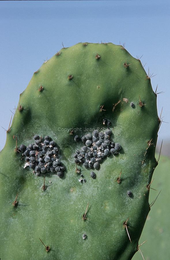 Importee du Mexique, la cochenille (Dactylopius coccus) est cultivée au début du XIXe dans toutes les Canaries. Le carmin produit par ce puceron est utilise pour  teindre les vetements, peindre les facades et les sculptures.  Les derniers élevages de cochenilles subsistent au Nord est de Lanzarote. Entre les villages de Guatiza et Mala, des centaines de parcelles de figuiers de Barbarie sont laissees à l'abandon mais certaines d'entre elles sont encore exploitees. Une fois recoltees, les cochenilles sont sechees. Il faut plus de 30 000 cochenilles pou obtenir 1 kg de matiere seche. Le carmin est aujourd'hui utilise comme colorant naturel principalement pour les rouges a levres.  .