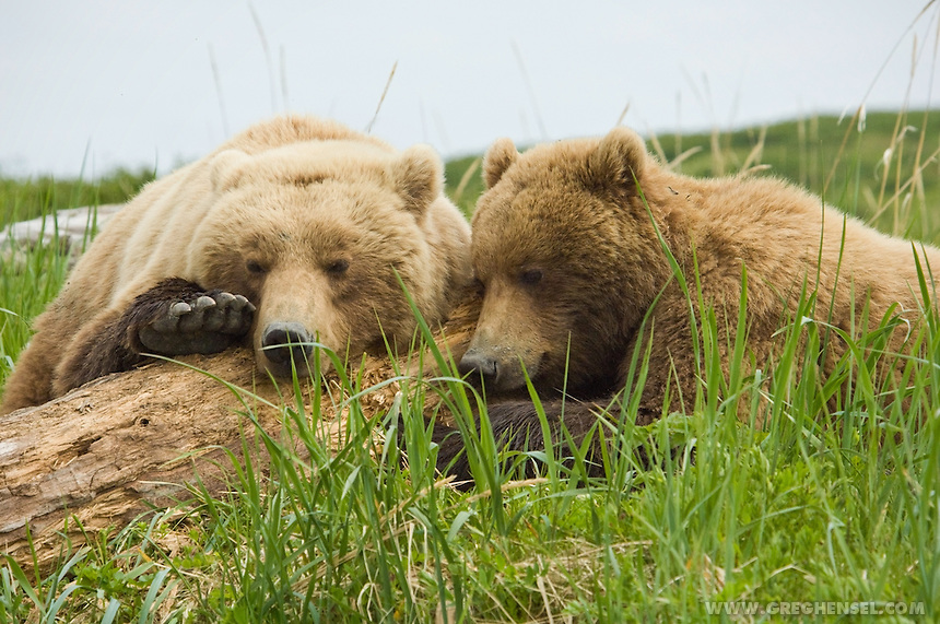 Brown Bear sow and her cub take a nap on some driftwood at McNeil River. Summer in Southwest Alaska.