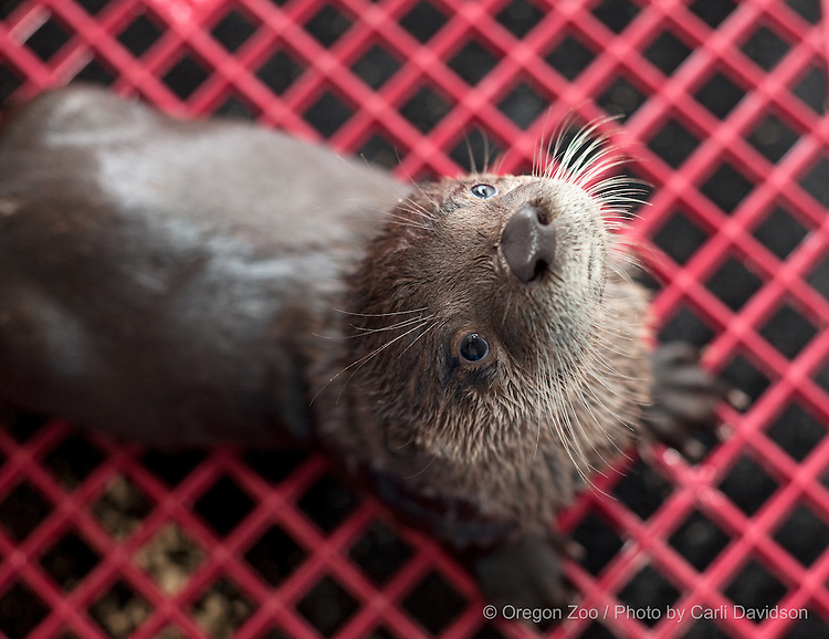 Juvenile North American river otter.