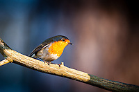 The Robin is found across Europe, east to Western Siberia and south to North Africa.