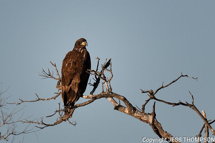 Immature Bald Eagle, San Angelo, Texas