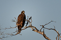 Immature Bald Eagle, San Angelo, Texas