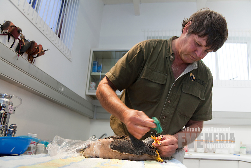 Zooligist Ben Hoffman cleaning a Lanner Falcon's claw with disinfectant at the African Bird of Prey Sanctuary's Raptor Clinic. Over 200 birds come through the rescue center a year (2010), often hurt due to powerlines..October 2010..African Bird of Prey Sanctuary..Kwazulu-Natal, South Africa.