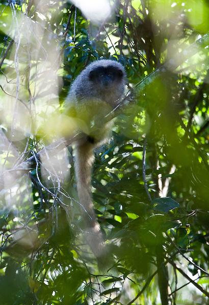 Nova Lima_MG, Brasil...Macaco no galho de uma arvore na Reserva Ecologica dos Fechos...The monkey on the branch tree in Ecological Reserve of Fechos...FOTO: JOAO MARCOS ROSA / NITRO