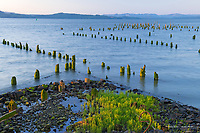 Pilings on the Columbia River, Astoria, Oregon