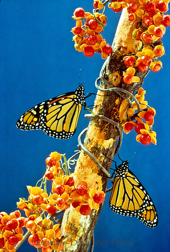 Monarch butterflies, Danaus plexippus, on branch with American bittersweet vine, Celastrus scandens, with berries