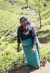 Female worker picking tea leaves on hillside, Nuwara Eliya, Central Province, Sri Lanka, Asia