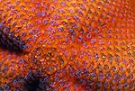 Santa Cruz Island, Channel Islands National Park and National Marine Sanctuary, California; Bat Star (Patiria miniata) detail, Alaska to Baja California, Mexico. On rocks, among surf grass, and on rocks and sand bottoms, low-tide to 960 feet , Copyright © Matthew Meier, matthewmeierphoto.com All Rights Reserved