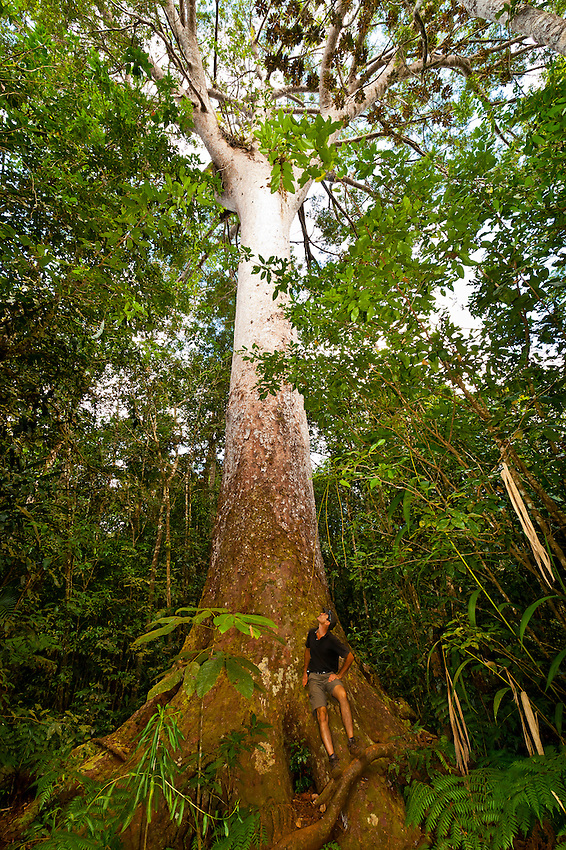 Le Grand Kaori (the largest and oldest known kauri pine tree), Parc de la Riviere-Bleue (Blue River Provincial Park), Grande Terre, New Caledonia