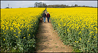 BNPS.co.uk (01202 558833)<br /> Pic: PhilYeomans/BNPS<br /> <br /> Hello Yellow Brick Road...<br /> <br /> Villagers in West Knighton in Dorset have named a footpath to nearby West Stafford the 'Yellow Brick Road' after a field of oilseed rape has flowered early this year giving them an early burst of mellow yellow.