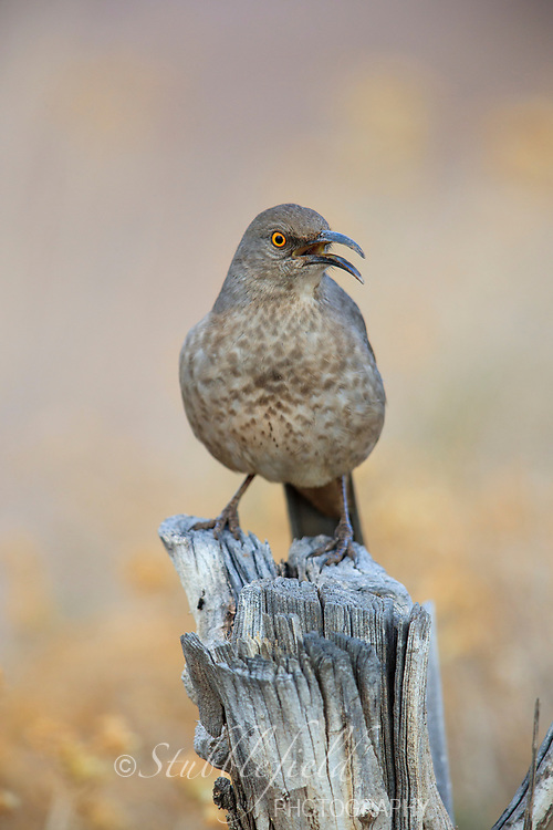 Curve-billed Thrasher (Toxostoma curvirostre palmeri), Western subspecies in Papago Park in Phoenix, Arizona.