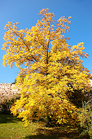 Yellow leaves on a tree in Autumn in the Buda Castle gardens, Budapest Hungary
