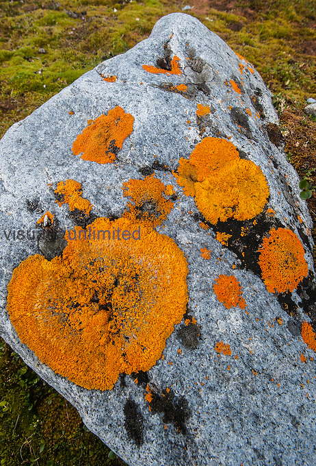 Elegant Sunburst Lichens on tundra rock (Xanthoria elegans), Spitsbergen Island, Norway