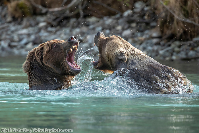Two Grizzly / brown bears fight over salmon at Crescent Lake. Lake Clark National Park. Fall/autumn  Southcentral, Alaska<br /> <br /> Photo by Jeff Schultz/SchultzPhoto.com  (C) 2018  ALL RIGHTS RESERVED