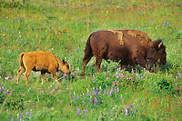 American bison cow and calf (Bison bison), Western U.S., June.