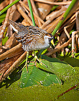 Sora standing in marsh  in Wakodahatchee Wetlands, Florida