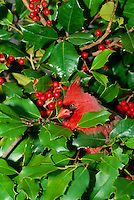 Northern Male Cardinal, Cardinal cardinalis, peeking out of holly bush with red berries, Missouri USA