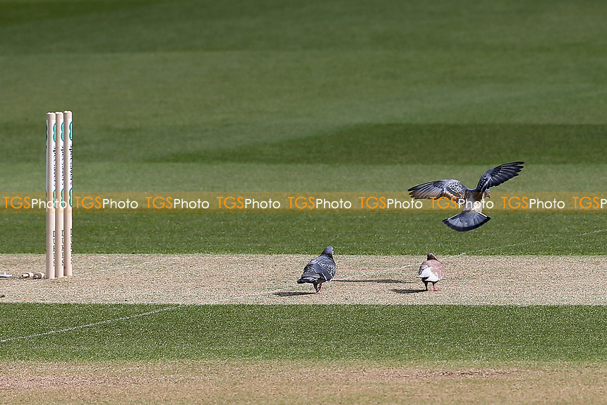 Pigeons on the pitch ahead of Surrey CCC vs Essex CCC, Specsavers County Championship Division 1 Cricket at the Kia Oval on 11th April 2019