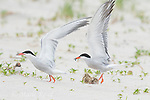 Common Terns (Sterna hirundo), pair with two chicks, one adult arriving with food, the other taking flight, Long Island, New York, USA
