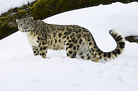 Snow Leopard standing on a snowy ledge - CA