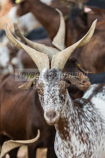 France, Bouches-du-Rhône (13),env de  Marseille, Le Rove:  Le troupeau  de Chêvres du Rove ,  d'André Gouiran, éleveur de chèvre du Rove et producteur de brousse du Rove  //  France, Bouches du Rhone, near Marseille:    Herd of goats Rove André Gouiran, Rove goat breeder and producer of  of  the Real Rove Brousse, pure goat cheese  <br /> AUTO N 2013-150