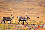 Female Caribou crossing on the fall colored tundra, north of the Gates of Arctic National Park & Preserve along the Dalton Hwy, Arctic Alaska, Autumn.