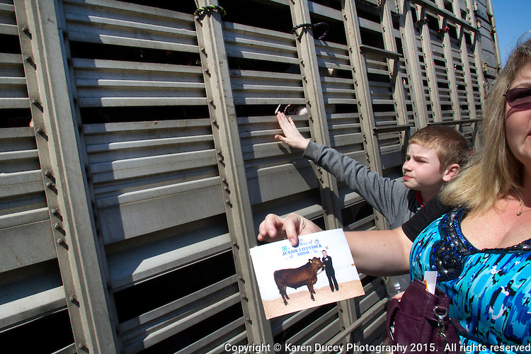 "Steers are loaded onto a trailer to be hauled to a slaughterhouse after being shown.  Thomas Asplund, 12, from Milton, WA peers through metal grates at his sister's red angus  cow, that she raised for the Northwest Junior Livestock Show at the Washington State Spring Fair in Puyallup, WA. He says eventually he will go into the FFA but he has no desire to be a farmer. He helped his sister a lot raising the cow.""He likes having the spot under his chin scratched,."" he said. <br /> Students in the FFA and 4H programs participate in the auction of livestock including steers, lambs and hogs in the Northwest Junior Livestock Show at the Washington State Spring Fair in Puyallup, Wash. on April 19, 2015.  (photo © Karen Ducey Photography)"