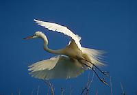 A Great Egret in flight.