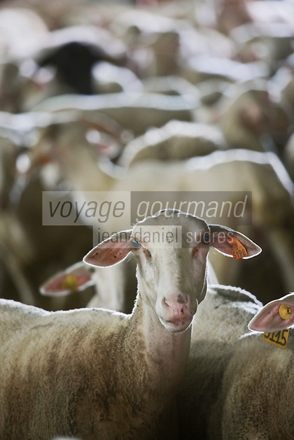 Europe/France/Aquitaine/33/Gironde/Saint-Yzans-de-Médoc:  Agneaux de Pauillac à la Bergerie de Cedric Perez, éleveur