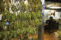 USA. Colorado state. Denver. Marijuana curing room at Medicine Man. When the bud-bearing branches have been removed and partitioned into individual pieces, the branches are hanged in order that all parts are exposed to air and stored in a cool, dry place, the curing room. The goal is for the branches to slowly, naturally dry, producing a flavorful, smoke-able product. Medicine Man began nearly six years ago as a small medical marijuana operation and has since grown to be the largest single marijuana dispensary, both recreational and medical, in the state of Colorado and has aspirations of becoming a national brand if pot legalization continues its march. Cannabis, commonly known as marijuana, is a preparation of the Cannabis plant intended for use as a psychoactive drug and as medicine. Pharmacologically, the principal psychoactive constituent of cannabis is tetrahydrocannabinol (THC); it is one of 483 known compounds in the plant, including at least 84 other cannabinoids, such as cannabidiol (CBD), cannabinol (CBN), tetrahydrocannabivarin (THCV), and cannabigerol (CBG). 18.12.2014 © 2014 Didier Ruef