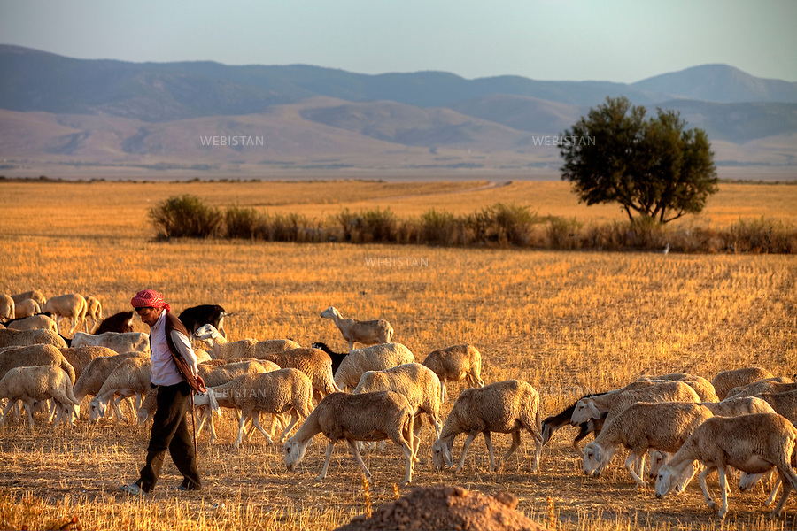 Algerie. Entre Batna et Setif. 01 Aout 2011.. Berger et son troupeau entre Batna et Setif...Algeria, between Batna and Setif. August 1st, 2011..A shepherd and his flock, between Batna and Setif...