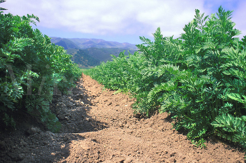 carrot plant rows California