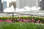 tulips in millenium park chicago with the silverdome in the background