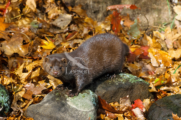 Mink among river rock and fallen leaves along edge of stream.  Fall.  Minnesota.