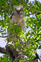 Great Horned Owl chick perched on a branch