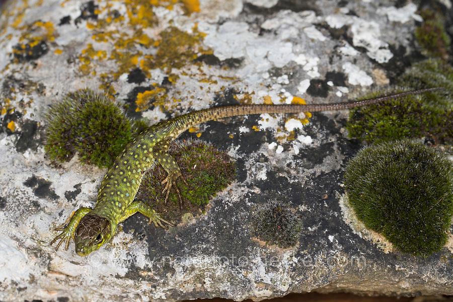 Perleidechse, Jungtier, Perl-Eidechse, Timon lepidus, Lacerta lepida, Wall lizard