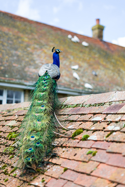 Peacocks at Calbourne Mill on the Isle of Wight