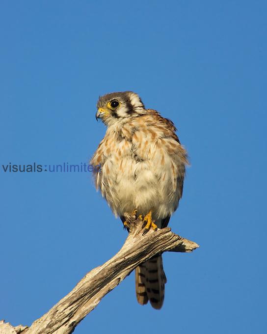 A female American Kestrel ,Falco sparverius,, North America.