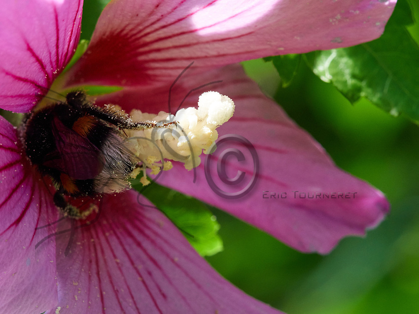 Bumblebee in the process of gathering nectar; the carder bee on a hollyhock.<br /> Butinage d&rsquo;un bombus, bourdon des champs sur une rose tr&eacute;mi&egrave;re.