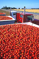 processing tomatoes on truck California