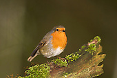 Robin (Erithacus rubecula) being inquisitive, Perched on moss covered branch, Lancashire, The Robin is Britain's unofficial national bird, and can readily be trained.