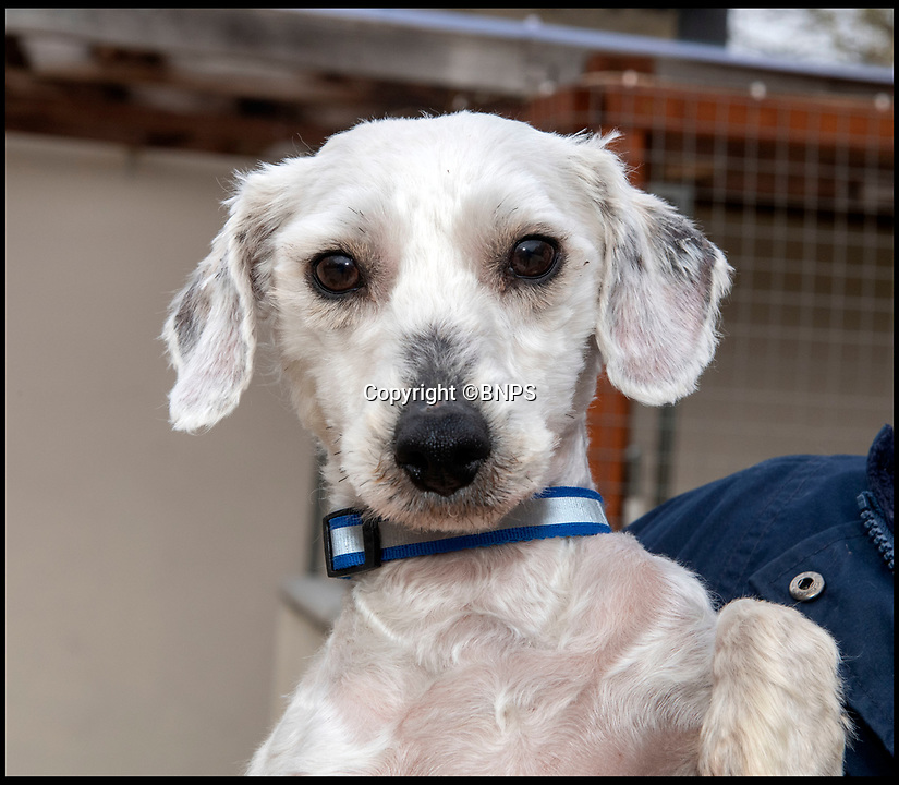 BNPS.co.uk (01202 558833)<br /> Pic: PhilYeomans/BNPS<br /> <br /> Douglas the Bichon Free-ze is looking for a warm home...<br /> <br /> Drastic action had to be taken to help save Douglas the Bichon Frise after the unfortunate pooch was found abandoned on New Years day with a heavily matted coat.<br /> <br /> Staff at Ardley Rescue had to shear off all his unkempt fur leaving Douglas shivering and shorn and now looking for a warm home to look after him.<br /> <br /> The dog was in such a sad state that staff at the Rescue Kennels, in Bicester, Oxon, were not sure what breed he was until they removed his mass of matted fur<br /> <br /> Douglas now has to wear a jumper and a coat to keep him warm until his fur grows back.